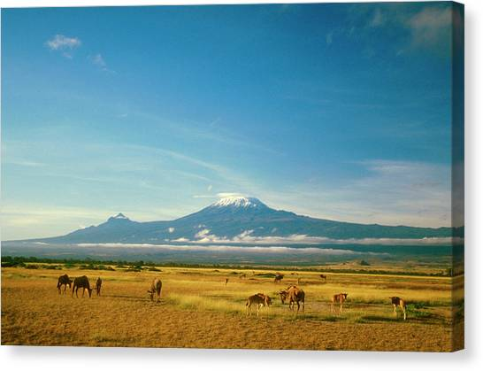Wildebeest Grazing, Ambos Eli National Canvas Print by Myloupe/uig