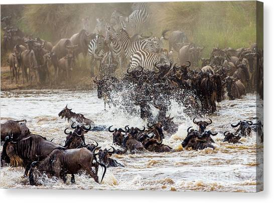 Zoology Canvas Print - Wildebeests Are Crossing Mara River by Gudkov Andrey