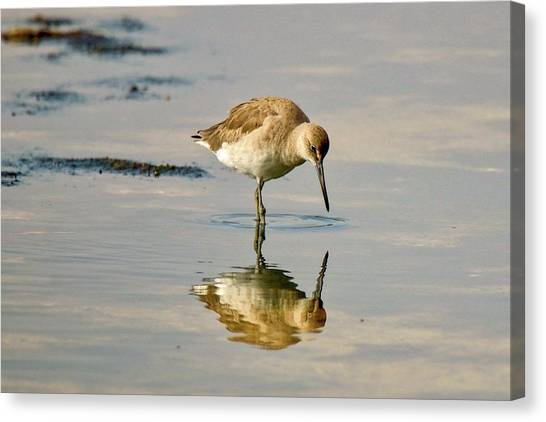 Willet Sees Its Reflection Canvas Print