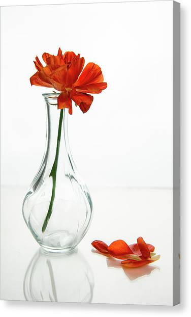 Wilted Gazania Red Flower On A Glass Vase.  Canvas Print