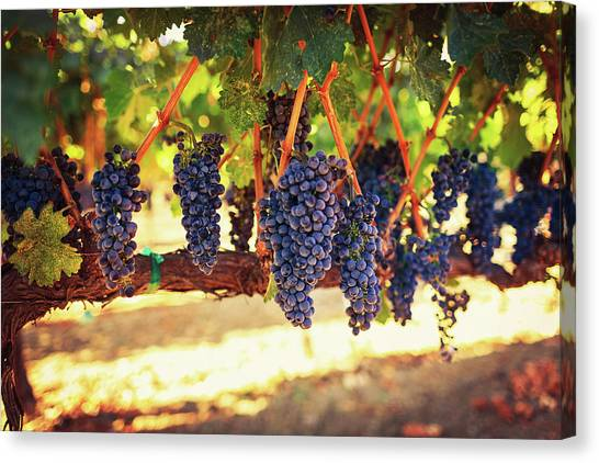 Sonoma Valley Canvas Print - Wine Grapes by Thepalmer