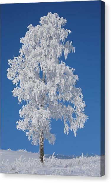 Winter Birch Tree Canvas Print by Luvo