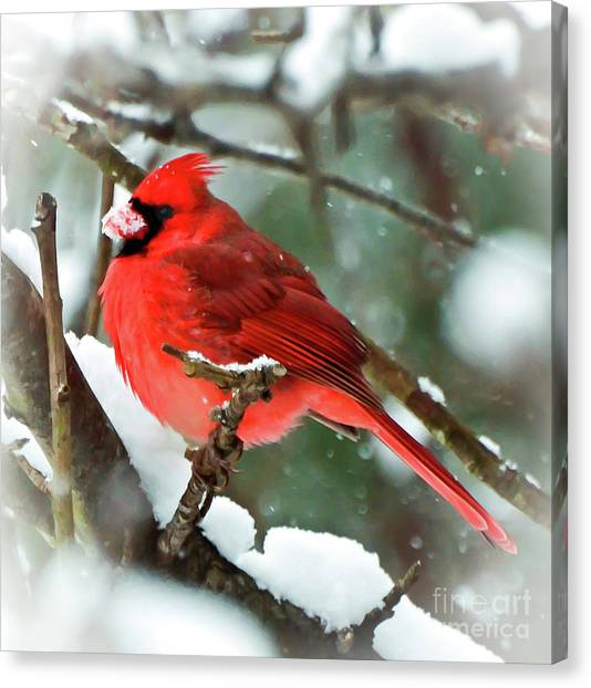 Winter Red Bird - Male Northern Cardinal With A Snow Beak Canvas Print