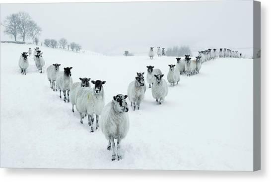 Winter Sheep V Formation Canvas Print by Motorider