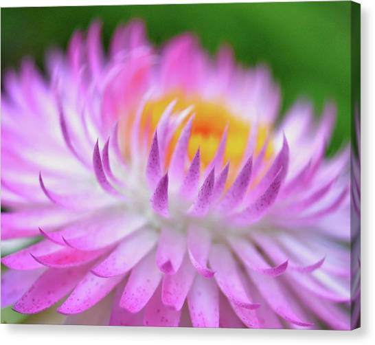 Wishes In Pink  Canvas Print