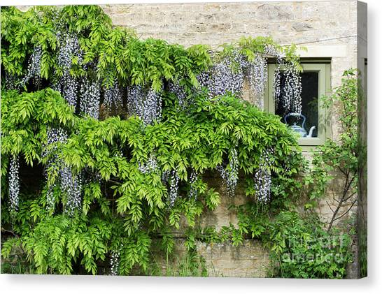 Wisteria On A Cotswold Stone House Canvas Print by Tim Gainey