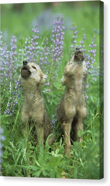 Wolf Puppies Howling In Meadow Canvas Print by Design Pics / David Ponton
