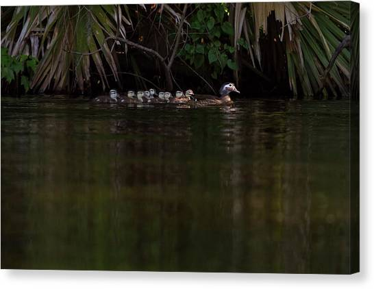 Wood Duck And Ducklings Canvas Print