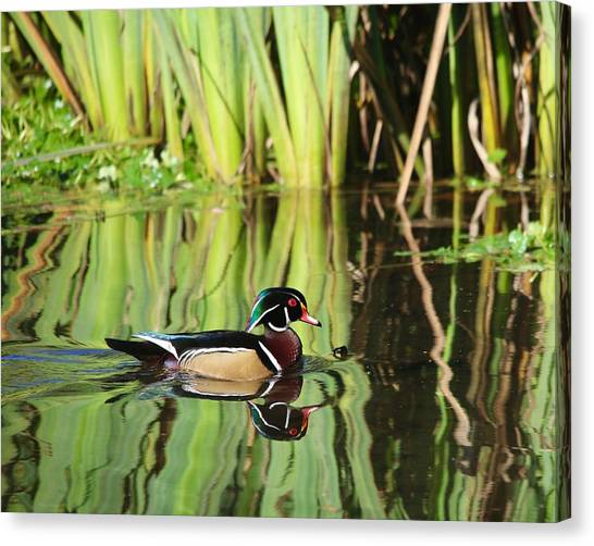 Wood Duck Reflection 1 Canvas Print
