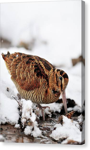Woodcock Canvas Print - Woodcock Probing For Prey In Marsh, Berwickshire, Scotland by Laurie Campbell / Naturepl.com
