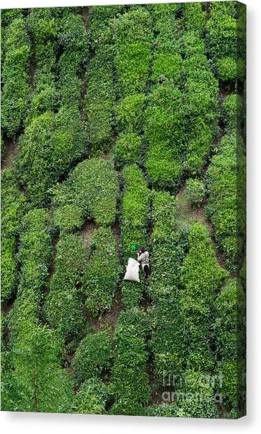 Contour Canvas Print - Working On The Tea Plantation In The by Atosan