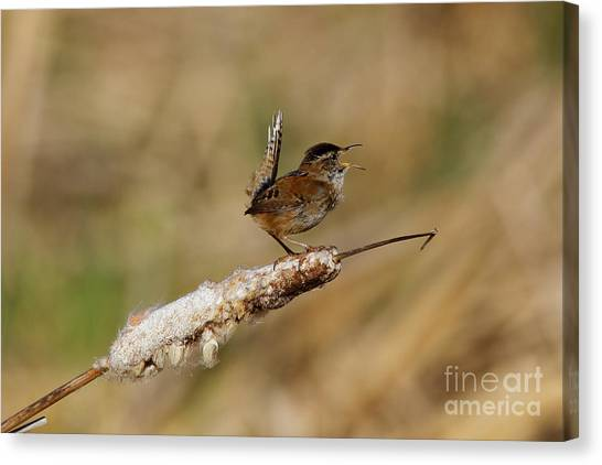Wren Strong Song Canvas Print