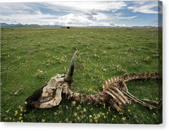 Yak Canvas Print - Yak Skeleton, China by James Gritz