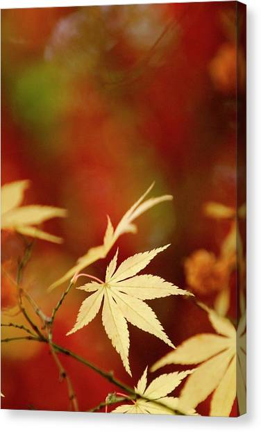 Yellow Acer Leaves Against A Vibrant Canvas Print by Stephen Spraggon