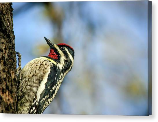 Yellow Bellied Sapsucker Canvas Print by By Ken Ilio
