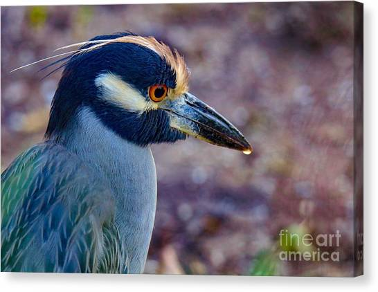 Yellow-crowned Night Heron Canvas Print