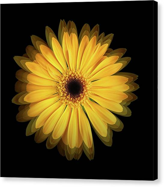 Canvas Print featuring the photograph Yellow Gerbera Daisy Repetitions by Bill Swartwout Fine Art Photography