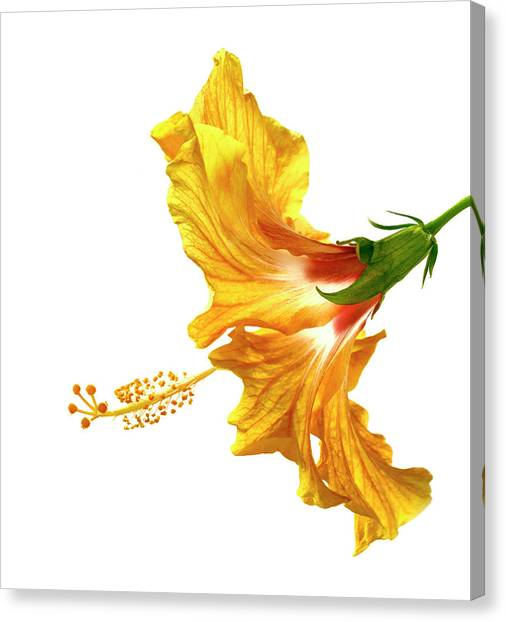 Hibiscus Canvas Print - Yellow Hibiscus by Christopher Johnson