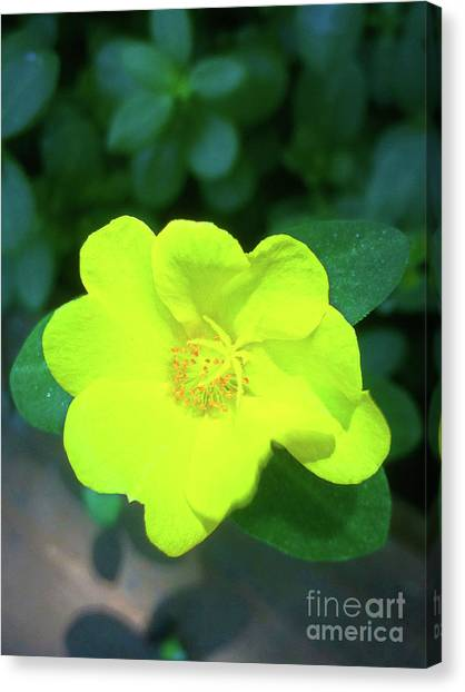 Yellow Hypericum - St Johns Wort Canvas Print