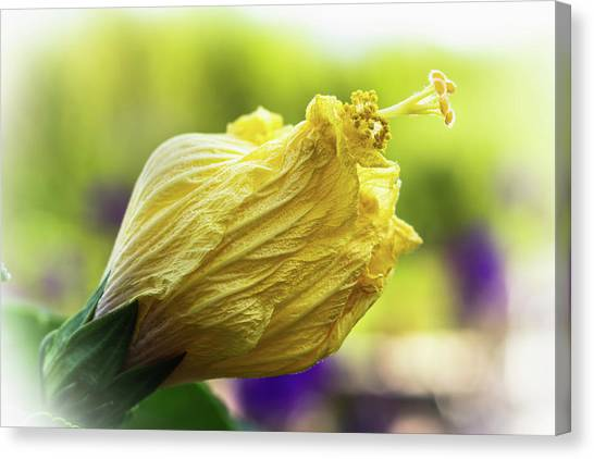Yellow Mature Hibiscus  Canvas Print
