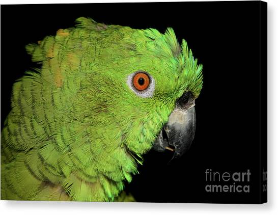 Yellow-naped Amazon Canvas Print