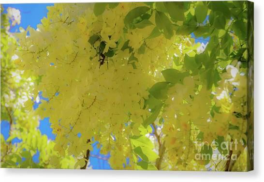 Yellow Shower Tree Flowers - Hawaii Canvas Print by D Davila
