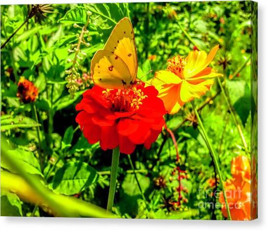 Sulfur Butterfly Canvas Print - Yellow Sulfur Butterfly by Debra Lynch