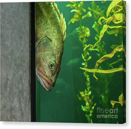 Yellowtail Rockfish Playing Peekaboo Canvas Print