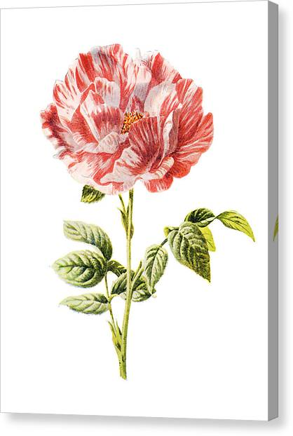 Dahlias Canvas Print - York And Lancaster Rose by Naxart Studio