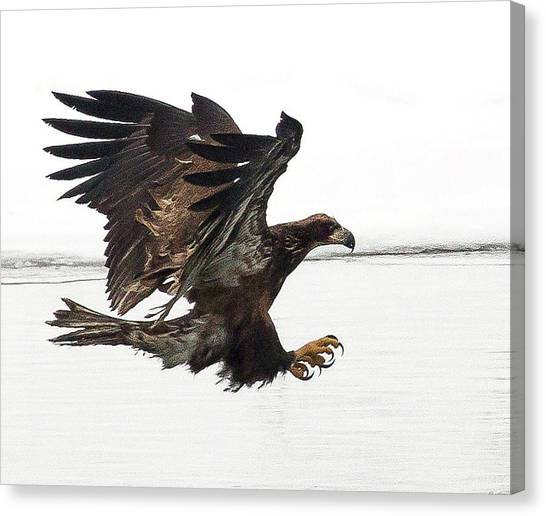Young Bald Eagle Canvas Print