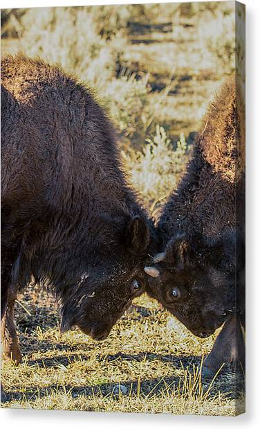 Canvas Print featuring the photograph Young Bison by Pete Federico