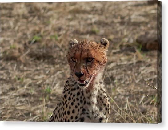Young Cheetah Canvas Print