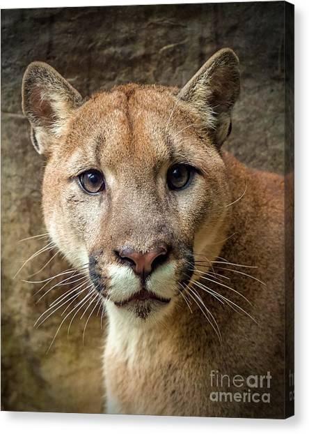 Young Puma Canvas Print