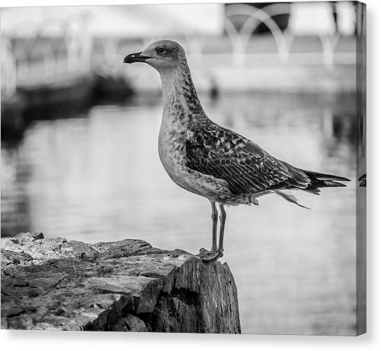 Young Seagull Canvas Print