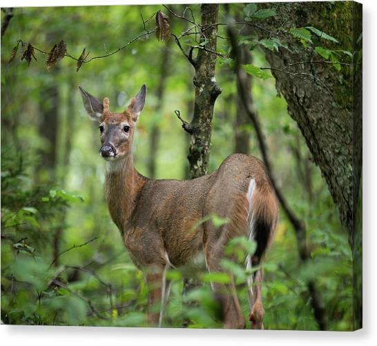 Young White-tailed Deer, Odocoileus Virginianus, With Velvet Antlers Canvas Print
