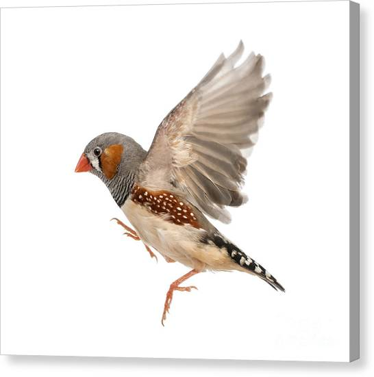 No-one Canvas Print - Zebra Finch Flying, Taeniopygia by Eric Isselee