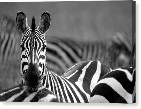 Zebra Canvas Print by Wldavies