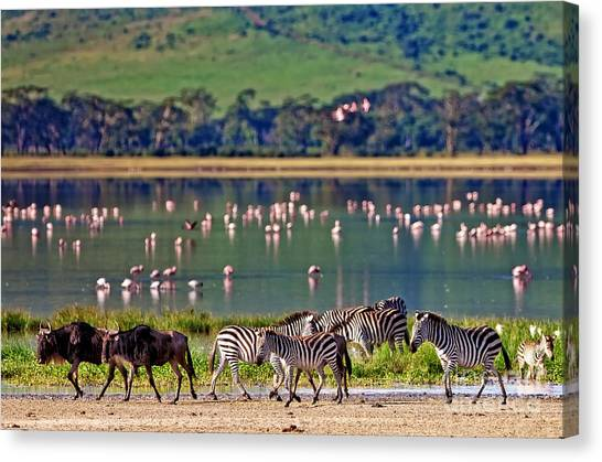 Delta Canvas Print - Zebras And Wildebeests Walking Beside by Travel Stock