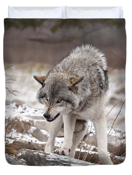 Duvet Cover featuring the photograph Adult Timber Wolf by Wolves Only