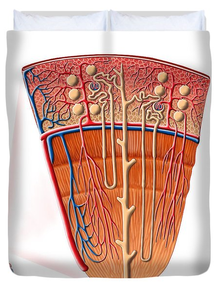 Anatomy Of Human Kidney Function Duvet Cover by Stocktrek Images