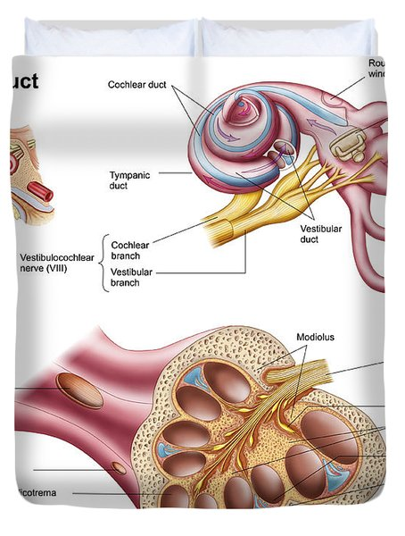 Anatomy Of The Cochlear Duct Duvet Cover