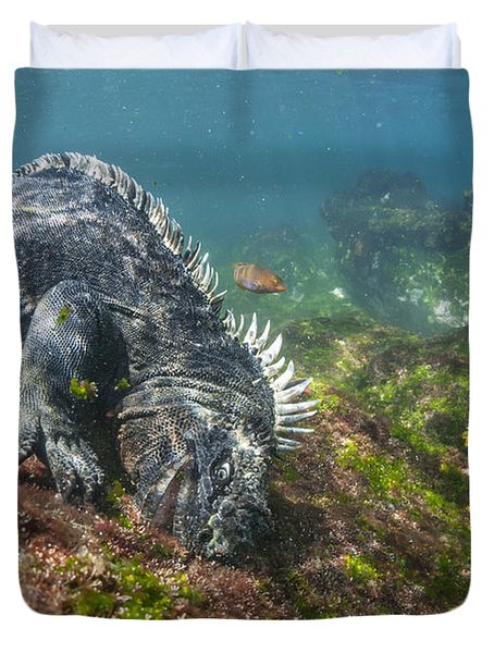 Marine Iguana Feeding On Algae Punta Duvet Cover