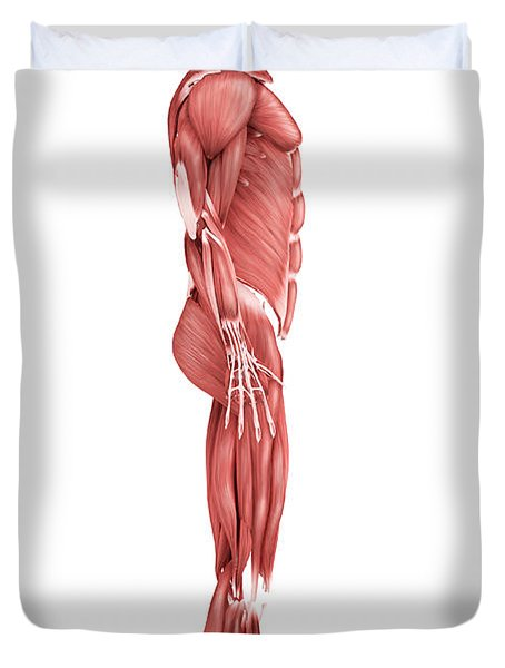 Medical Illustration Of Male Muscular Duvet Cover by Stocktrek Images