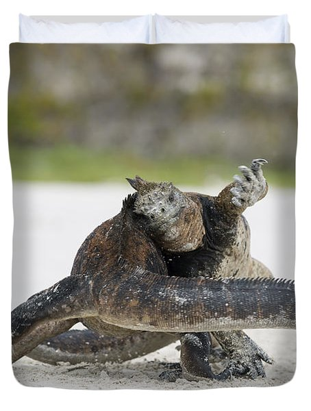 Marine Iguana Males Fighting Turtle Bay Duvet Cover