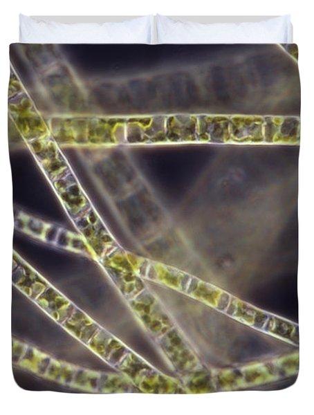 Ulothrix Sp. Algae, Lm Duvet Cover by David M. Phillips