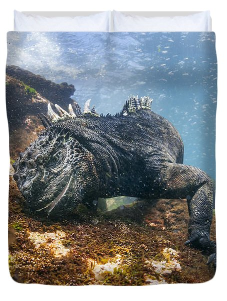 Marine Iguana Feeding On Algae Punta Duvet Cover