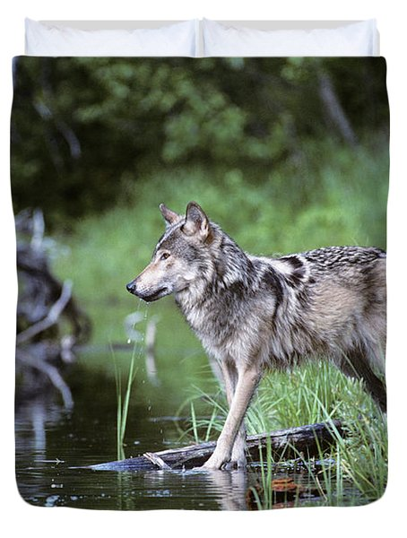 Adult Gray Timber Wolf Canis Lupus Duvet Cover