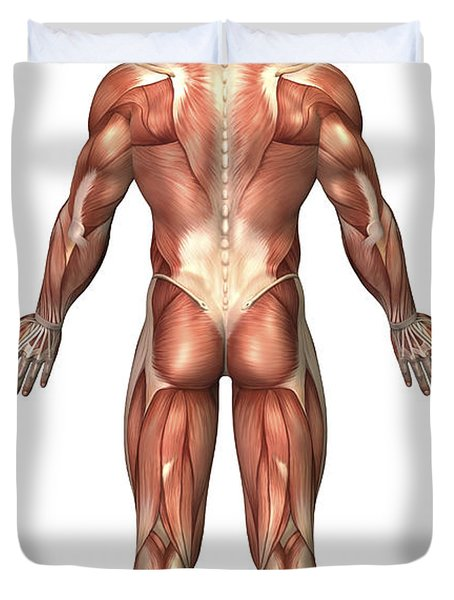 Anatomy Of Male Muscular System, Back Duvet Cover by Stocktrek Images