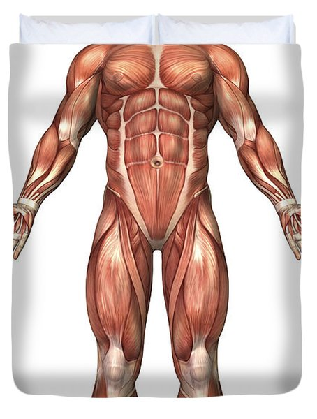 Anatomy Of Male Muscular System, Front Duvet Cover by Stocktrek Images