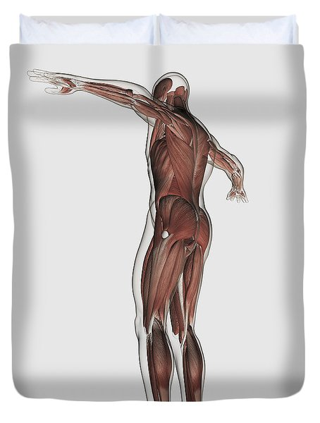 Anatomy Of Male Muscular System Duvet Cover by Stocktrek Images